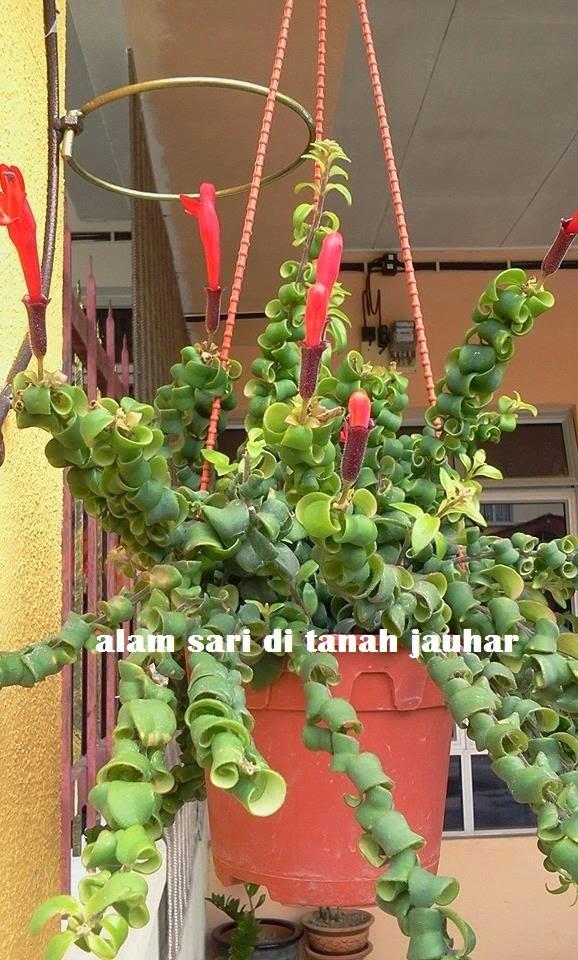 LIPSTICK PLANT... JATUH CINTA PANDANG PERTAMA