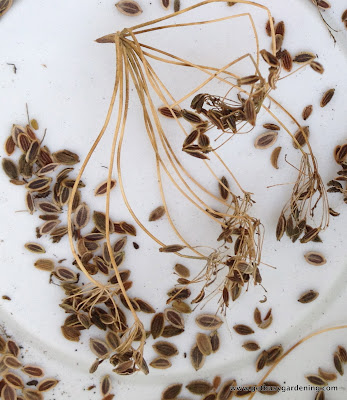 Dill seeds and chaff