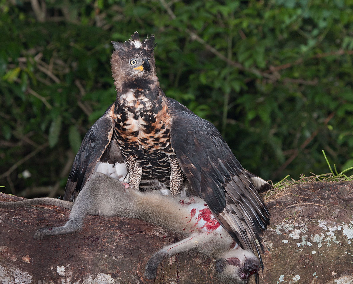 African crowned eagle attack