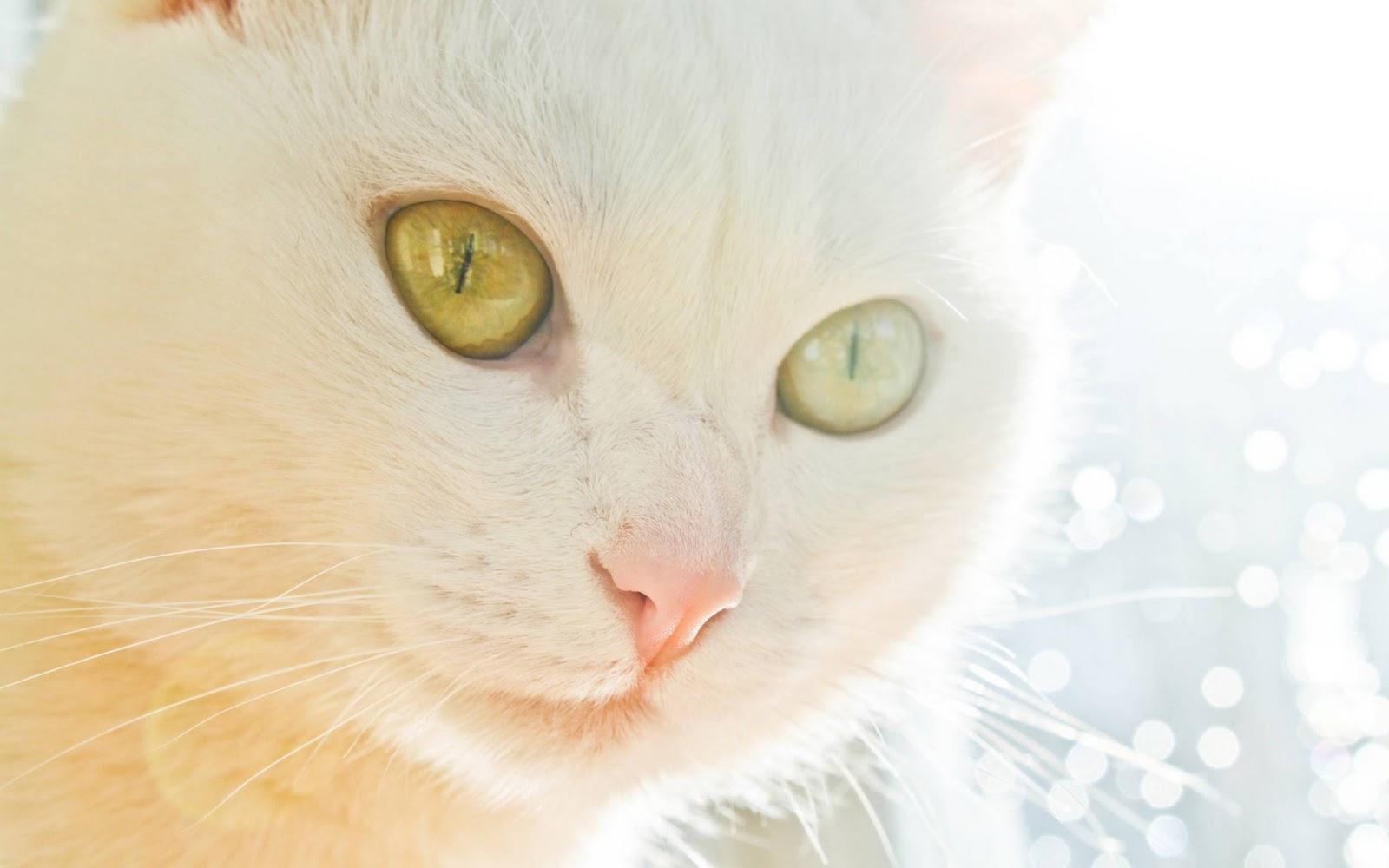 http://3.bp.blogspot.com/-RDERrYdgLNQ/TwUplwK5-iI/AAAAAAAAGXU/I8P1bUJ0YQk/s1600/white_cat_wallpaper.jpg