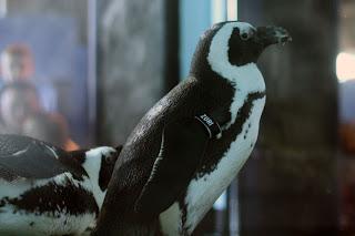 penguin monterey aquarium