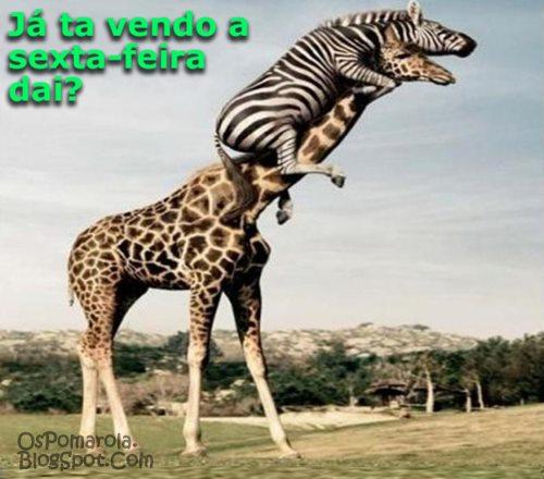 girafa e zebra aguardando sexta-feira