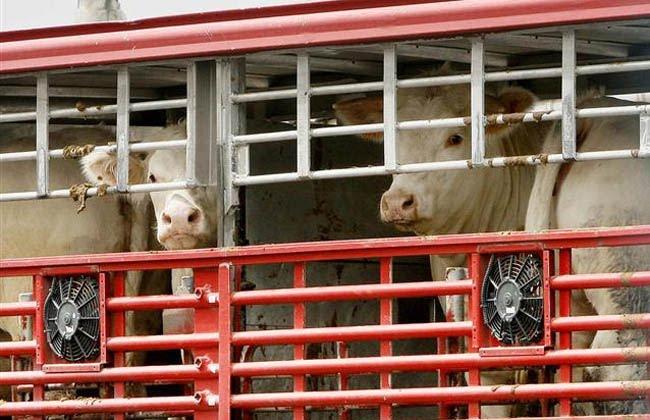 Policía de fronteras decomisó caballos y vacas traídas de Nicaragua de forma ilegal