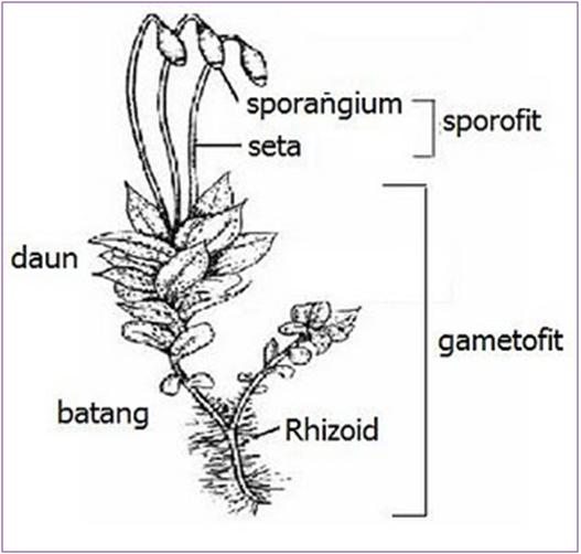 Tumbuhan Lumut (Bryophyta)