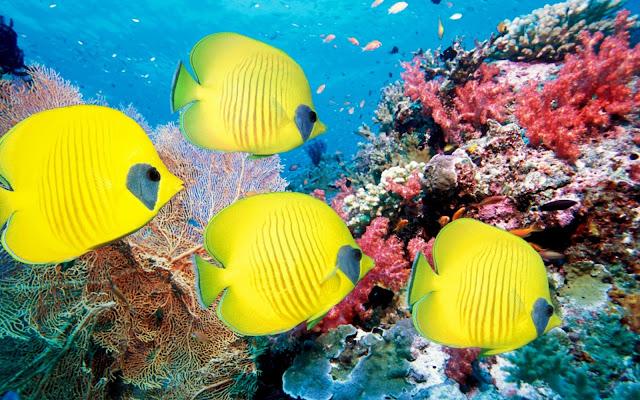 Imagenes de Peces Amarillos en Arrecifes de Coral