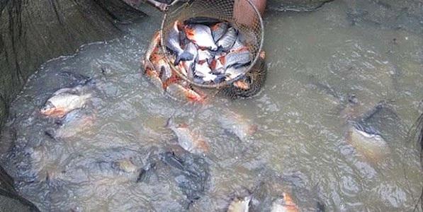 Kiat Pesukses Ternak Nila Tanpa Ribet dan Mudah