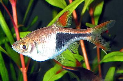jual khusus ikan aquascape, artikel jenis ikan di aquascape, makalah ...