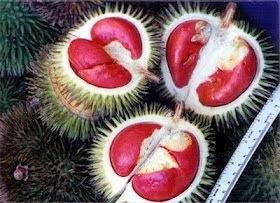 Buah Durian Merah yang Langka