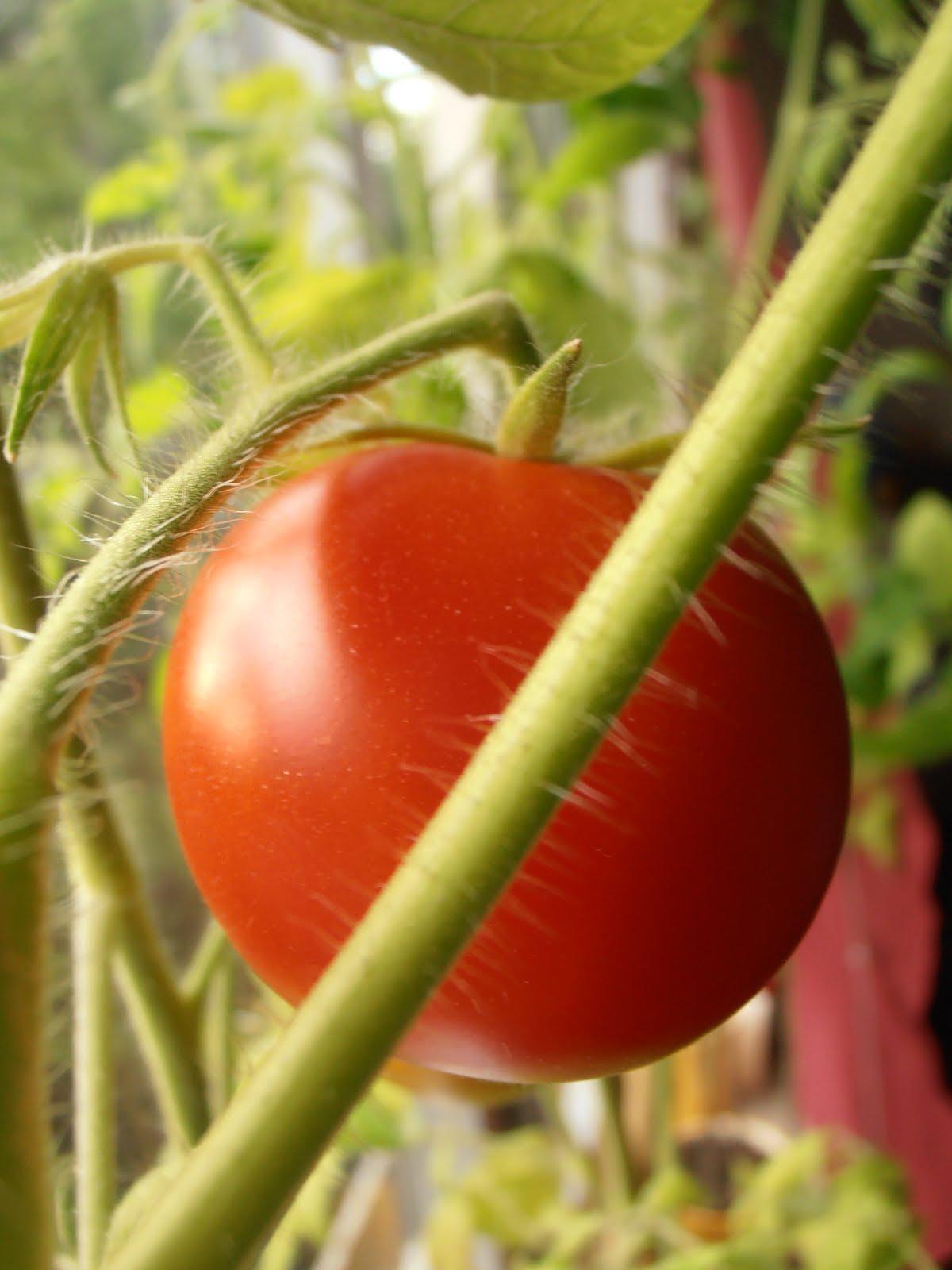 selber machen neues von den tomaten. Black Bedroom Furniture Sets. Home Design Ideas