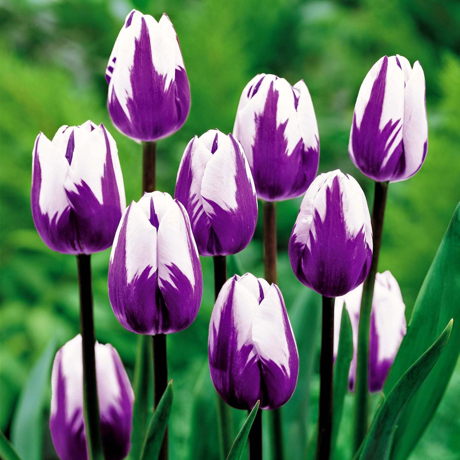 Gambar Keren Sebagai Wallpaper Bunga Tulip Ungu