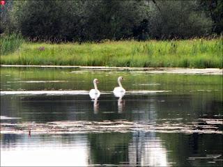 Лебеди в Сикунье, в Кушлянах