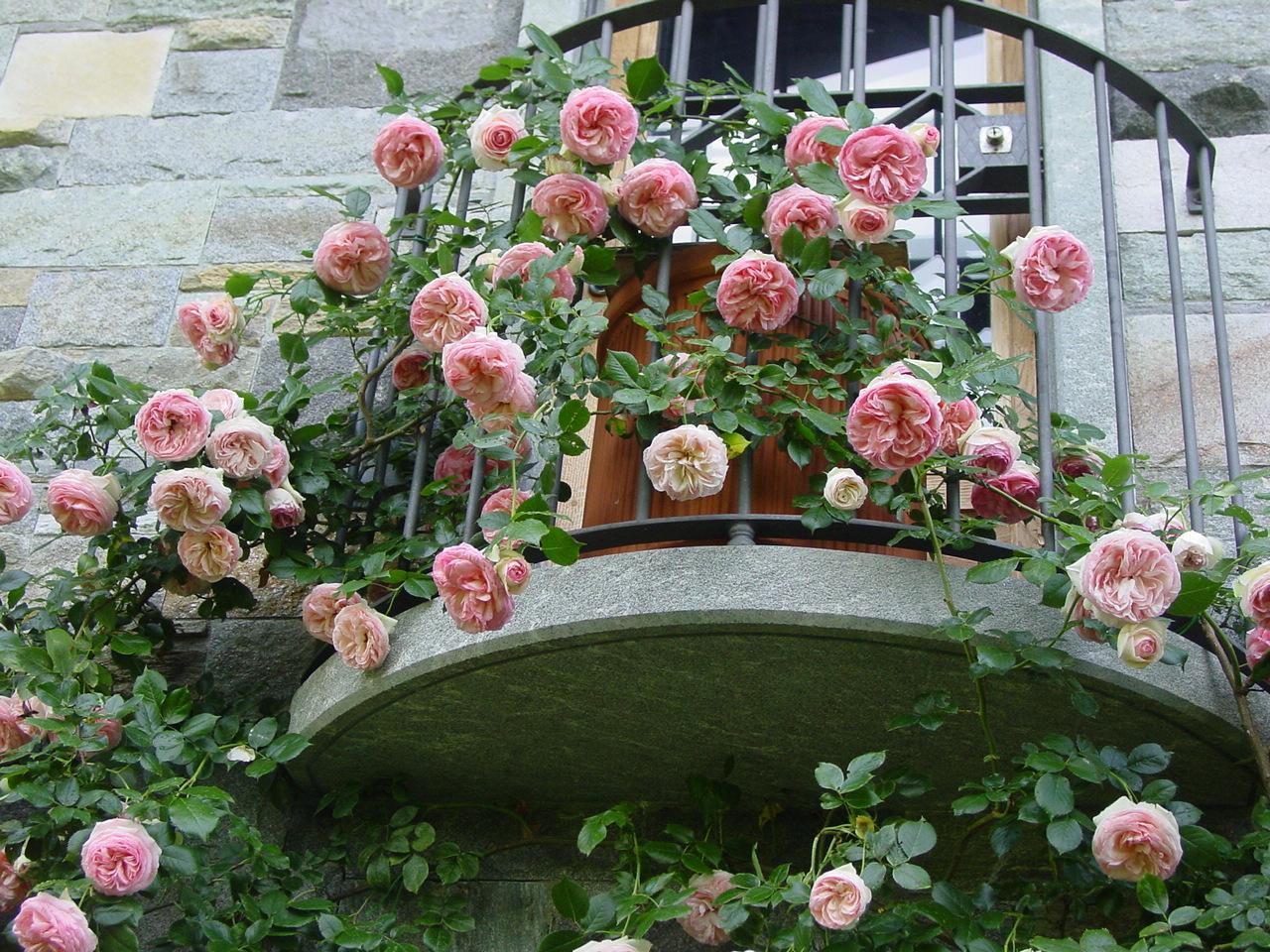 Rosedelizioseshabbychic pierre de ronsard for Pierre de ronsard rosa