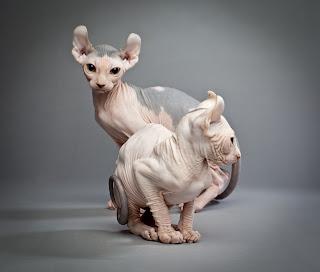 exotic shorthair cat adoption