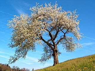 almond tree in greek mythology