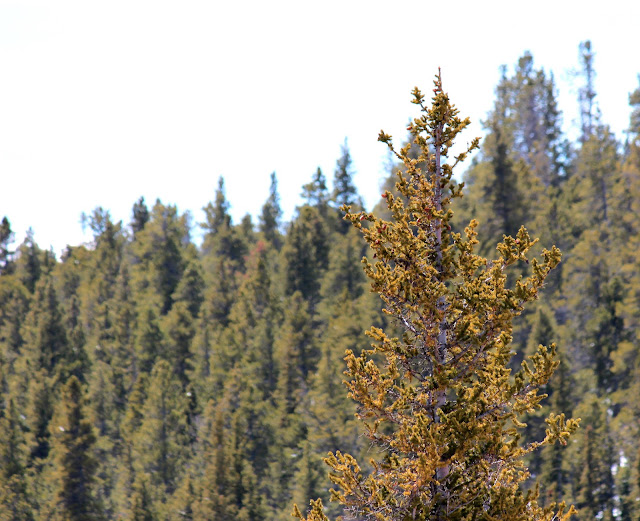 pine tree nature photography
