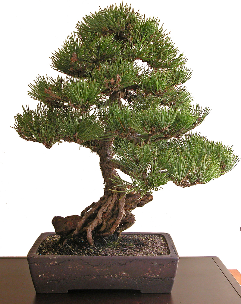 Amazing Are Ban Bonsai An Art