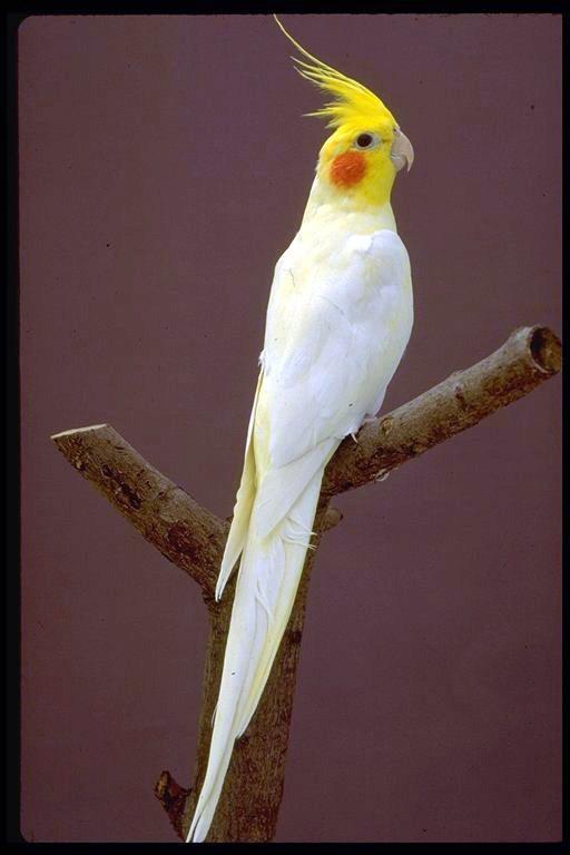 اروع واغرب طائر من طيور الزينة هو طائر الكوكتيل