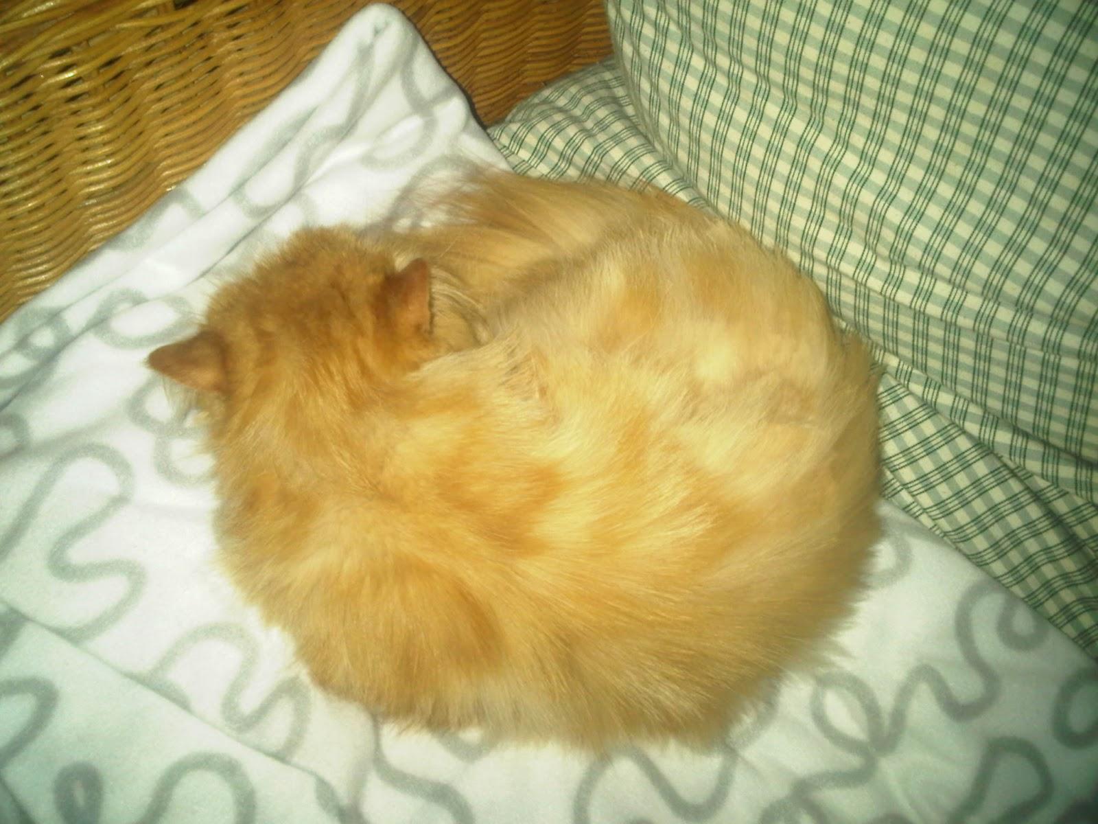 Schlafende Perserkaze auf Rattansessel, eingerollt auf Fleecedeck