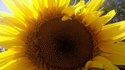 Wordless Wednesday Sunflower Fun!