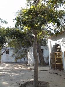 Trees at Tatiya Sthan Vrindava 4