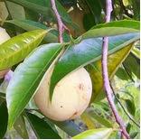 khasiat buah pala