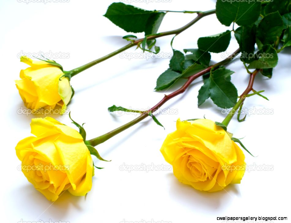 Yellow roses — Stock Photo © vikiri 1603677