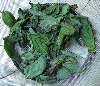 Partially Dry Basil in Colander