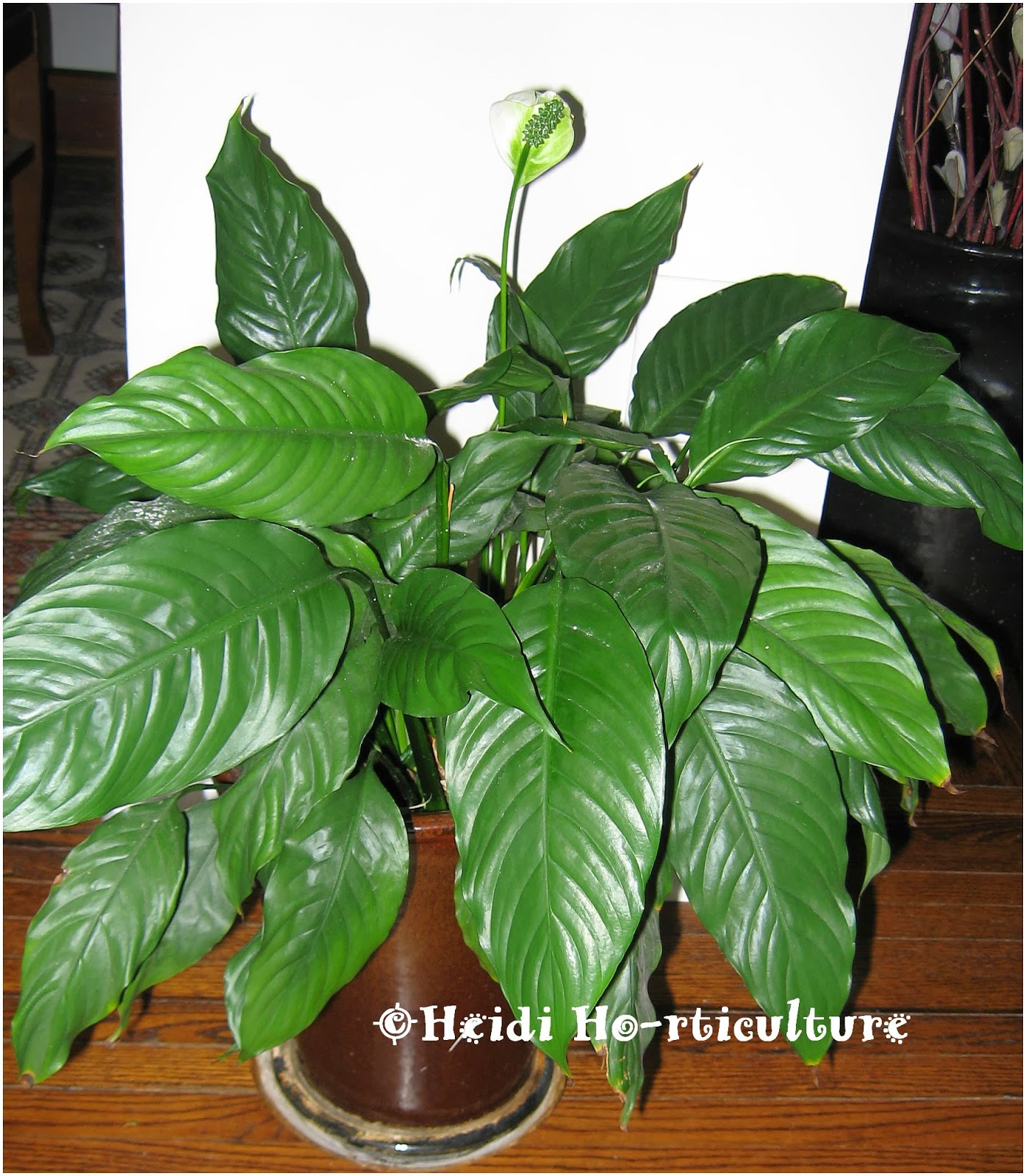 Heidi horticulture february 2014 peace lily spathiphyllum brown tips dhlflorist Gallery