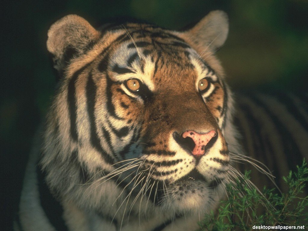 Bravo Wallpaper: Tiger Wallpaper Pack 1 (1024x768