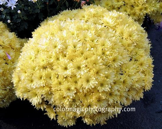 Yellow Chrysanthemum bush