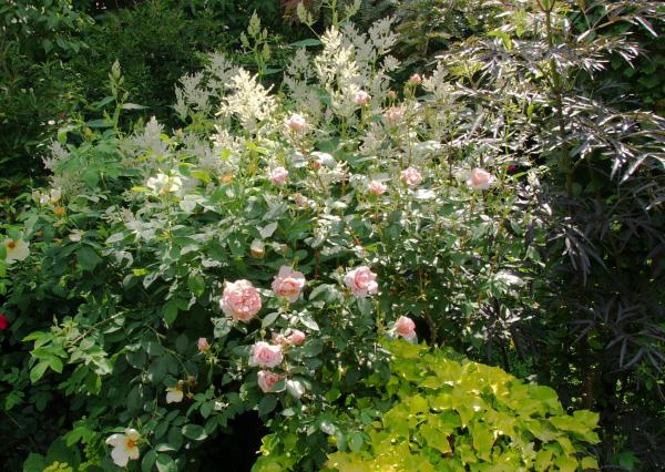 Klettergerüst Rosen : Meine grüne leidenschaft: juni 2011