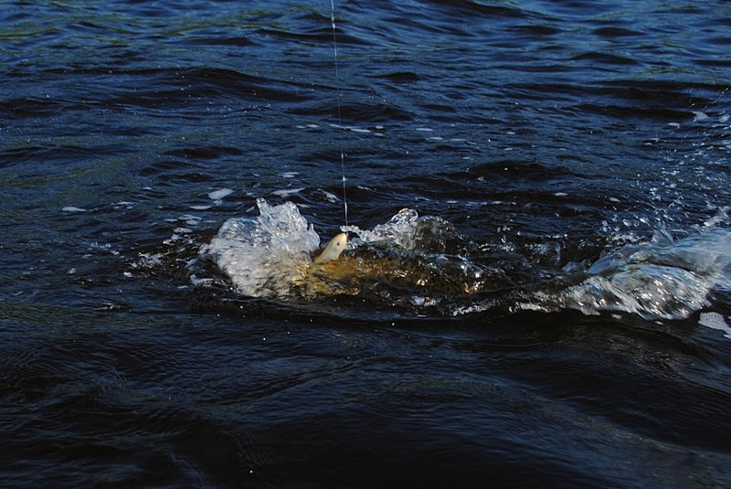 The pine island angler pine island fishing report big for Pine island fishing charters