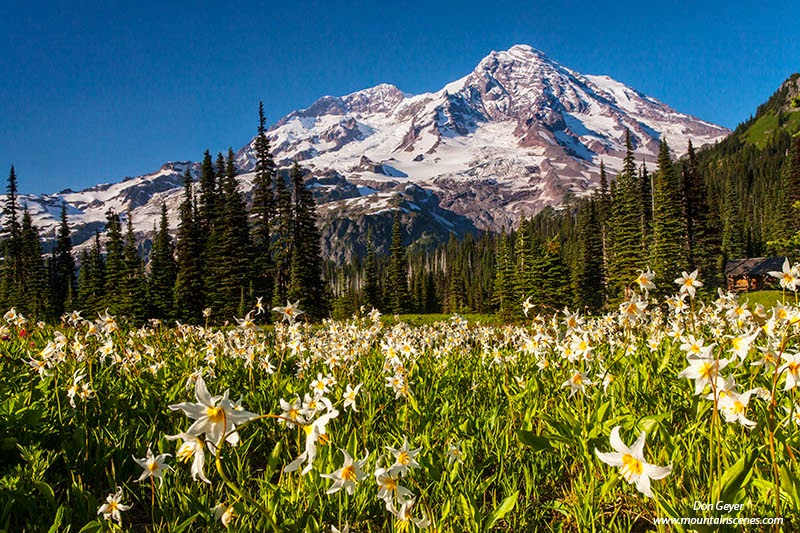 Mount Rainier above avalanche lilies at Indian Henry's Hunting Ground, Mount Rainier National Park, Cascade Range, Washington, USA.