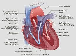 Anatomi Fisiologi Jantung