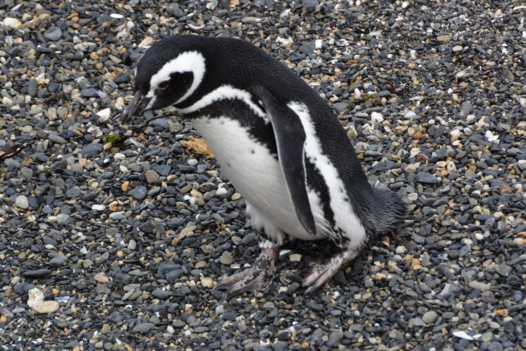 Beagle Canal Ushuaia Penguins