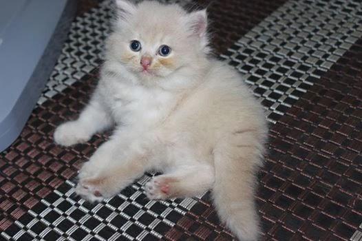Jual Kucing Parsi Malaysia