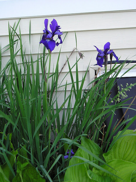 pinoodles iris and hosta