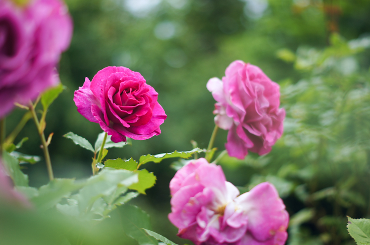 Ribbons Down My Back: Pink Roses