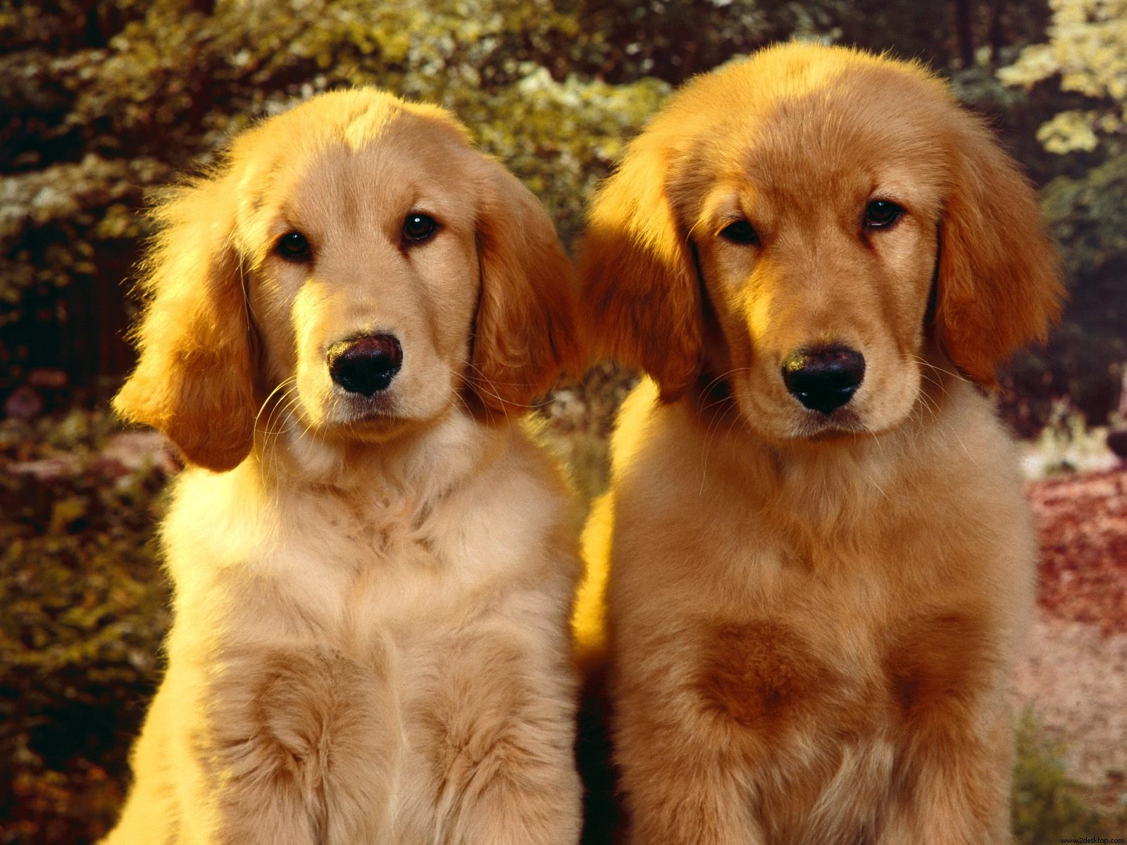 Dog Wallpapers Album: Golden Retriever Puppy Photos