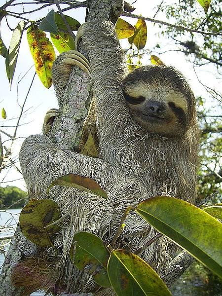Características, alimentação, reprodução e distribuição da Preguiça comum (Bradypus variegatus)