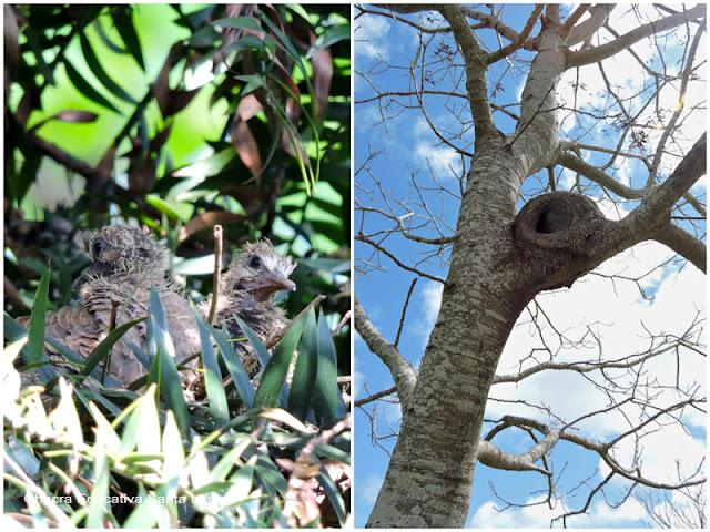Pichones de palomita torcaza y nido de hornero - Chacra Educativa Santa Lucía