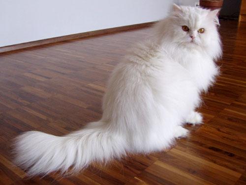 Persian (Chinchilla)