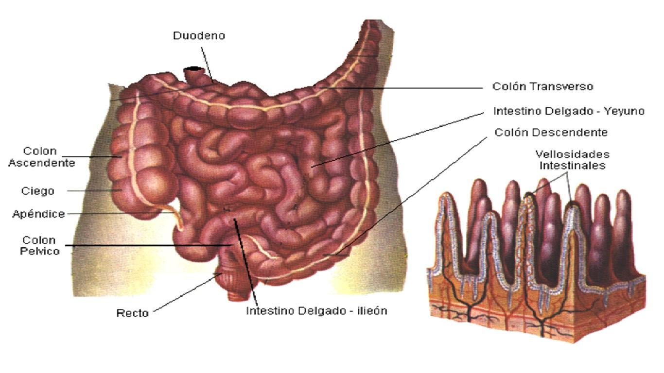 Nutricion : DIGESTION, ABSORCION Y METABOLISMO DE PROTEINAS