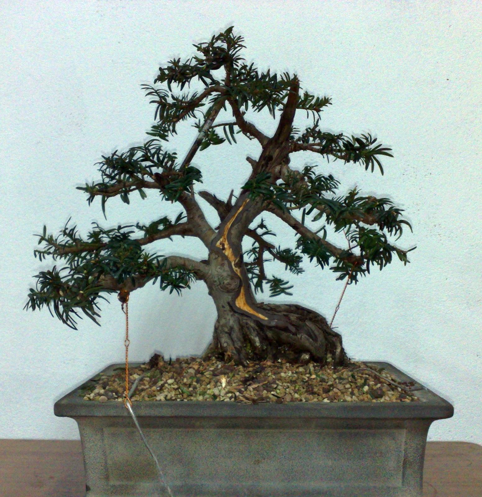 Escuela bonsai valencia diciembre 2012 for Vivero online arboles