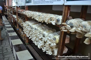 cara budidaya jamur, budidaya jamur, budidaya jamur tiram, cara budidaya jamur tiram, jamur tiram, teknik budidaya jamur tiram