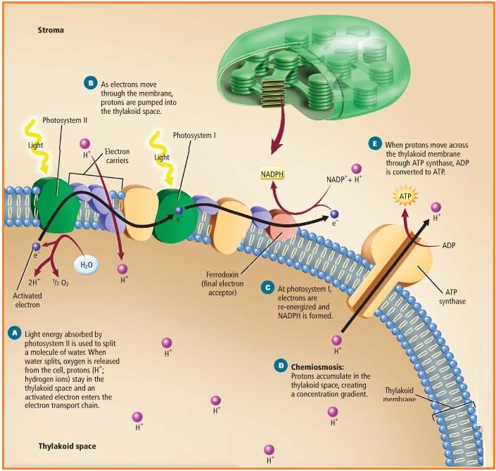 Reaksi terang dan gerak fotosintesis