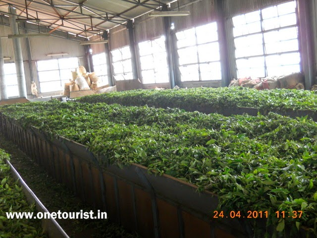 ooty botnical garden , tea factory , tea making , tamilnadu , india