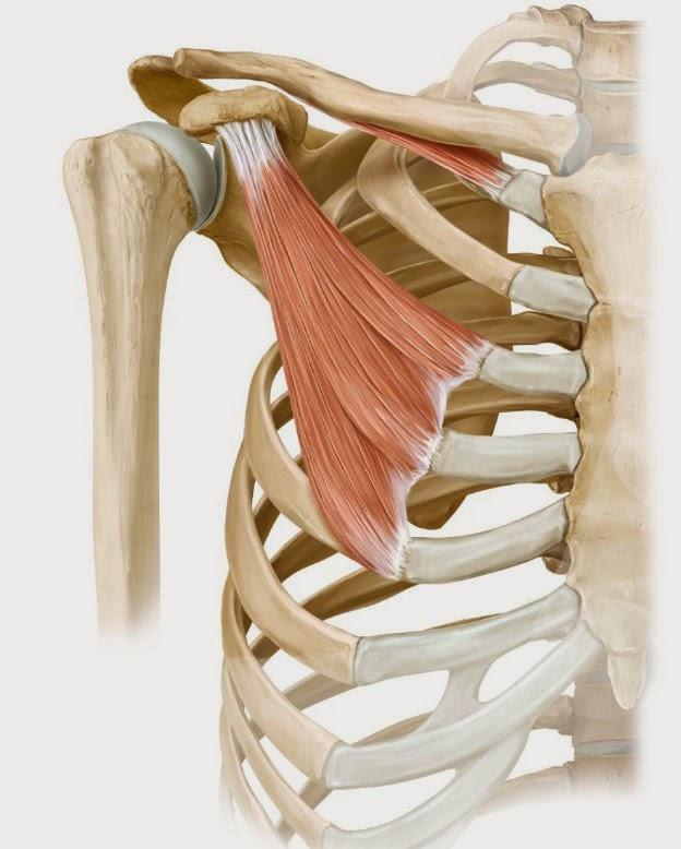 Функционально-силовой тренинг: Anatomy Of Shoulders