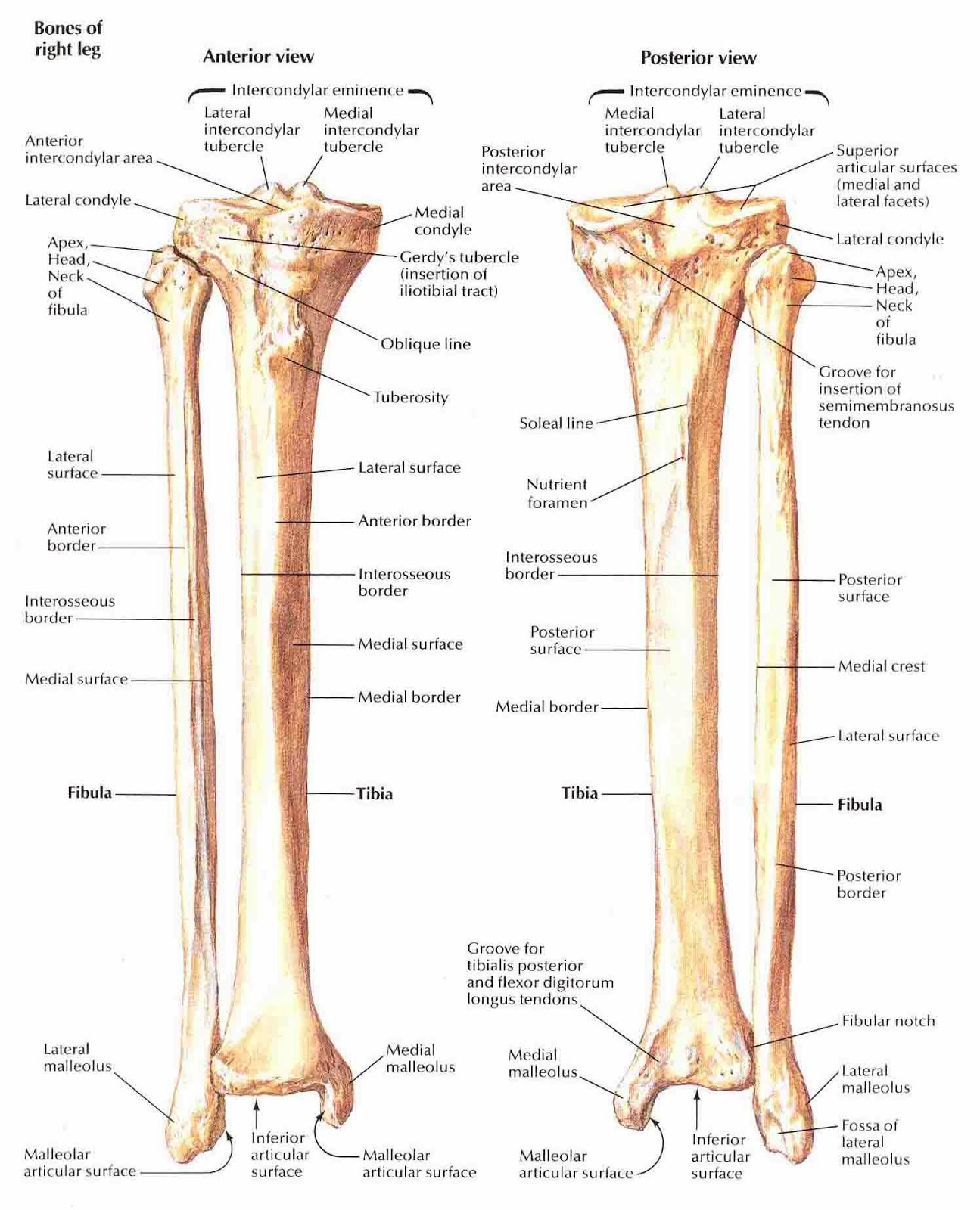 biology diagrams,images,pictures of human anatomy and physiology Fibula Bone Anatomy Diagram