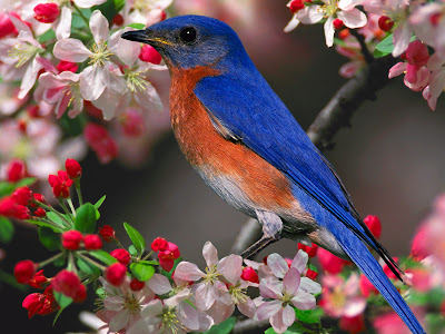 Blue Bird Desktop Wallpaper